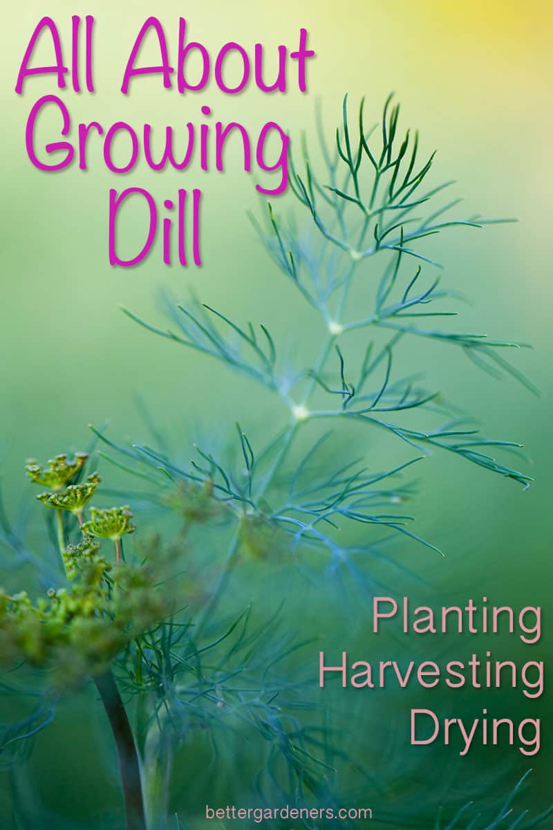 All About Growing Dill - Planting, Harvesting, Pruning, Drying
