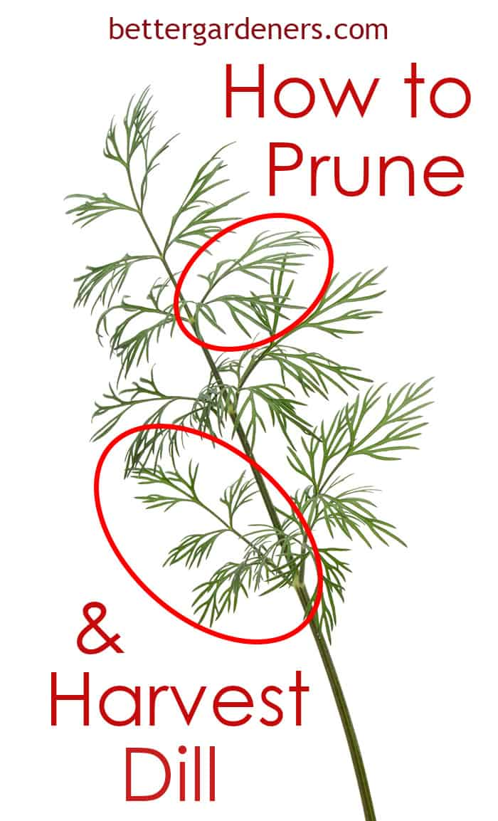 How to Prune & Harvest Dill