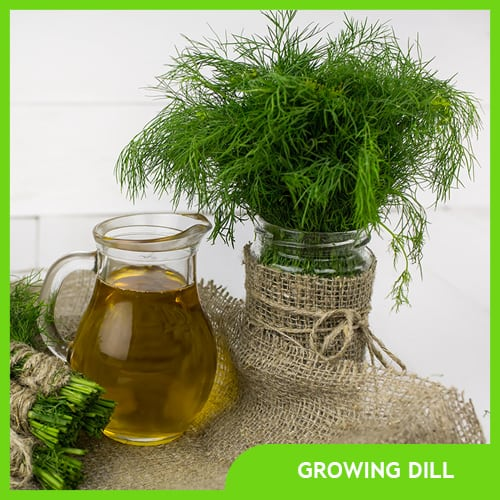 All About Growing Dill – Planting, Pruning, & Harvesting