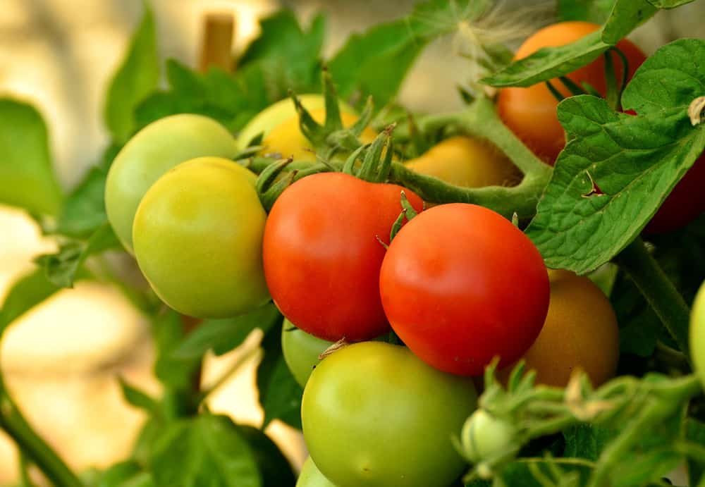 How to Ripen Green Tomatoes at Home