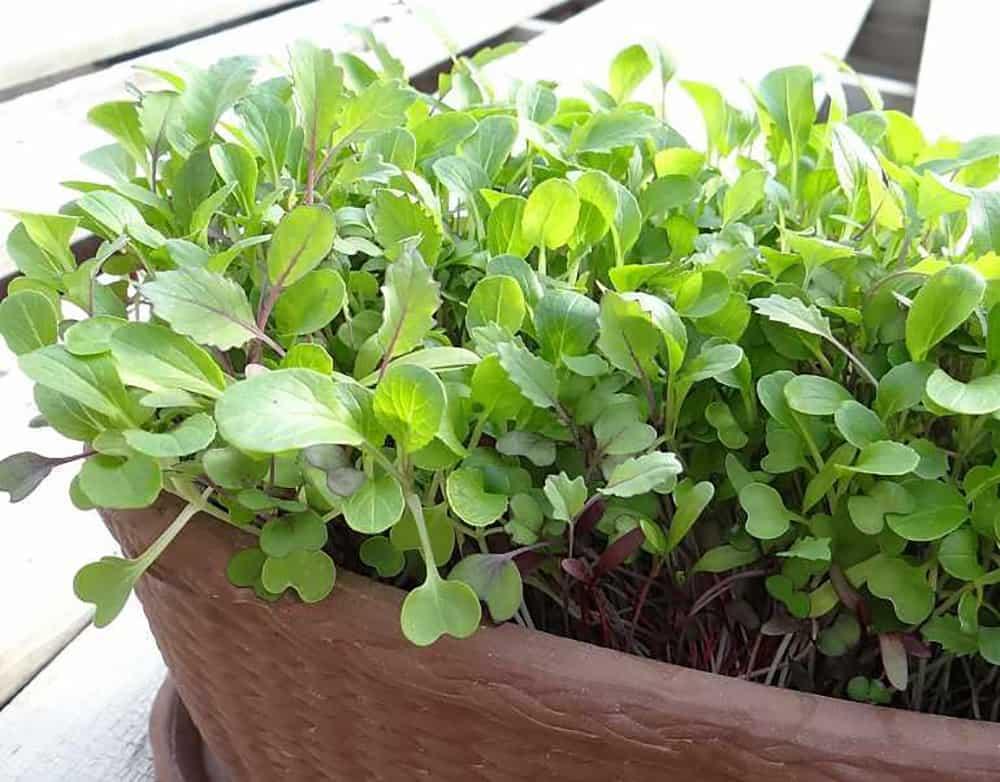 Grow Microgreens Indoors in Winter