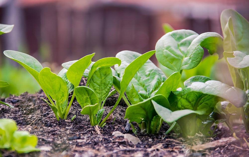 Grow Lettuce & Salad Greens in Winter