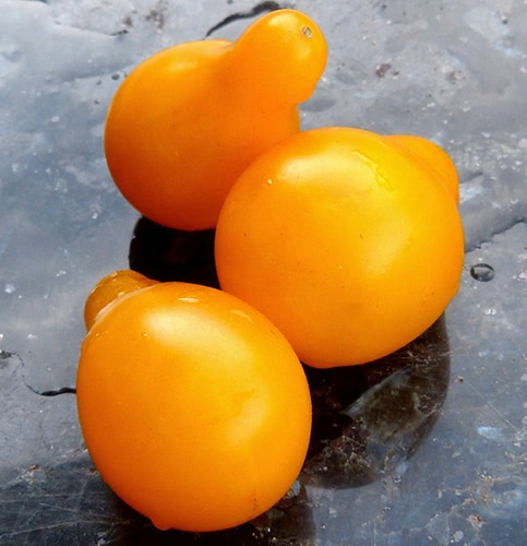 Yellow Pear Tomatoes - Weird Plants to Grow