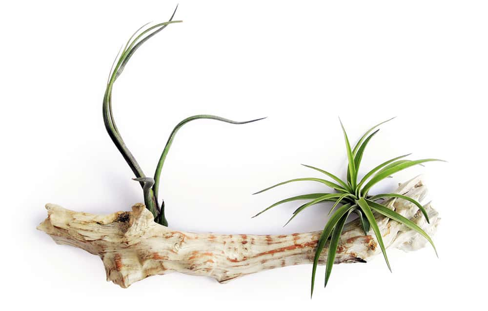 Air Plants - Safe House Plants for Cats & Dogs