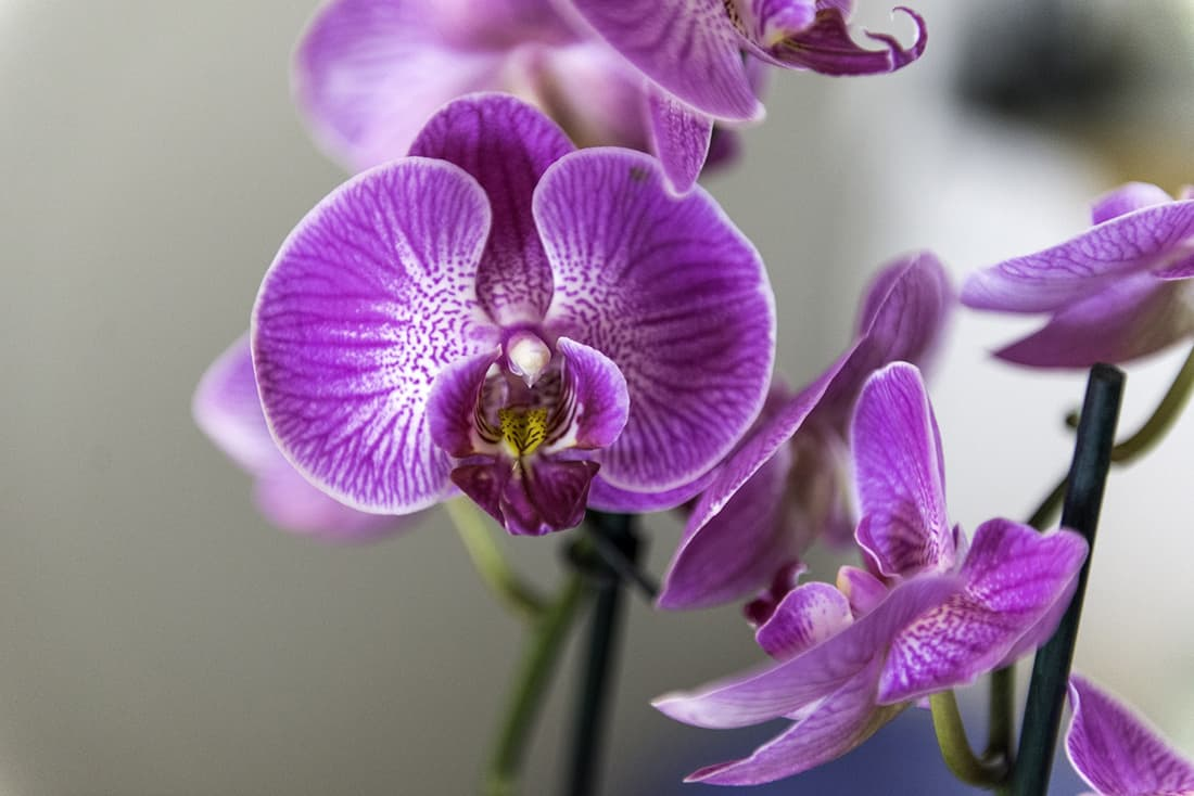 Moth Orchid Pet Friendly Houseplants