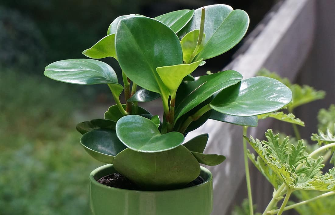 Peperomia Plant Safe for Cats & Dogs