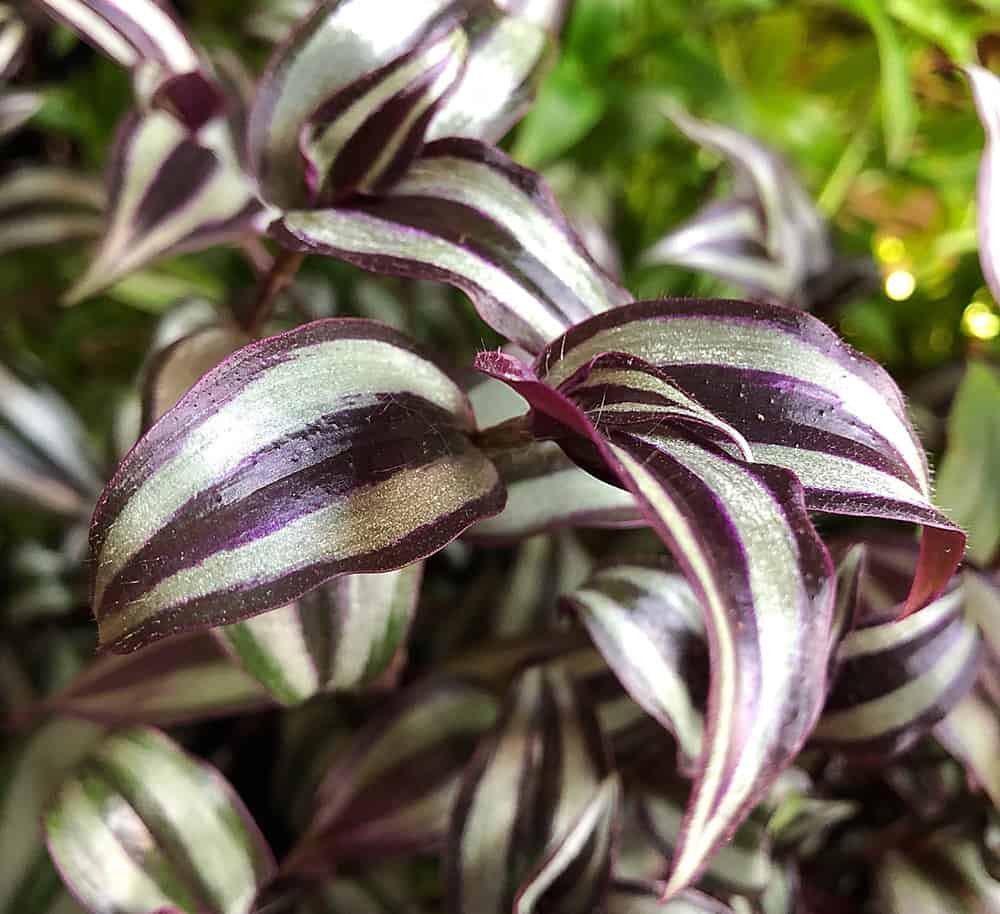 Wandering Jew Pet Friendly Houseplant