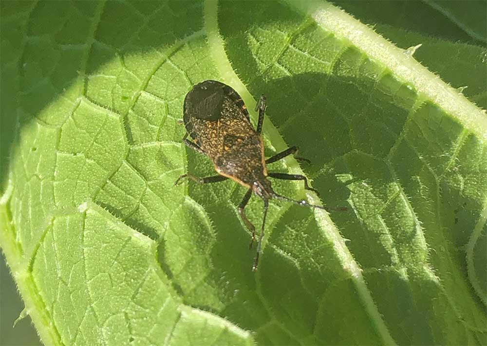 Brown Adult Squash Bug