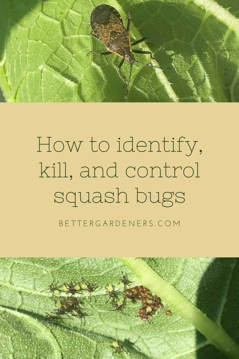 How to identify, kill, and control squash bugs in your garden