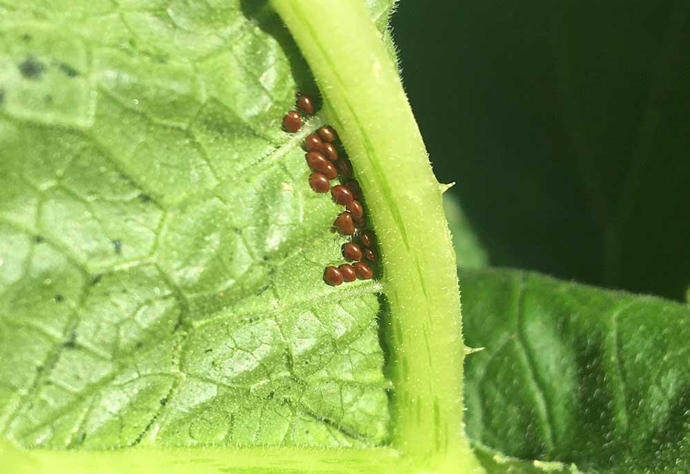 Squash Bug Eggs on Leaves