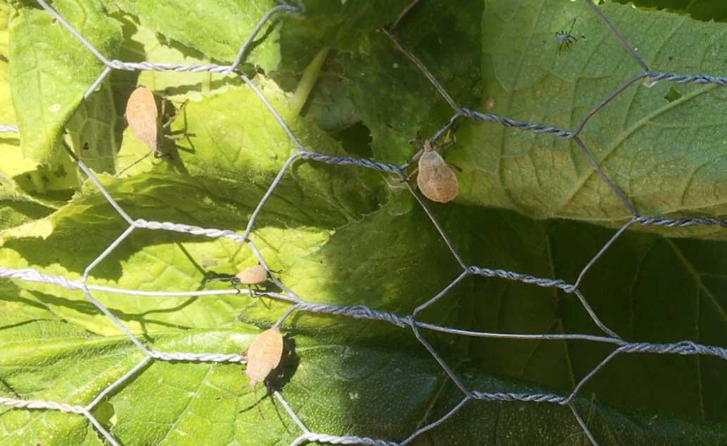 Young Gray Squash Bugs